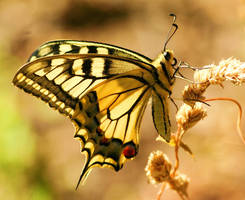yet another swallowtail by theodoraevergreen
