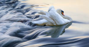The White Swan by borda