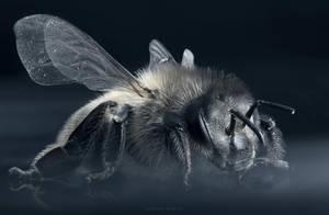 Honey Bee by borda