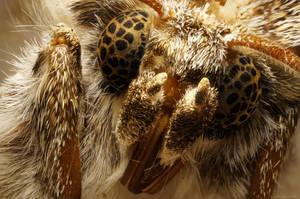 Spanish Eyes - Catocala Fraxini moth by borda