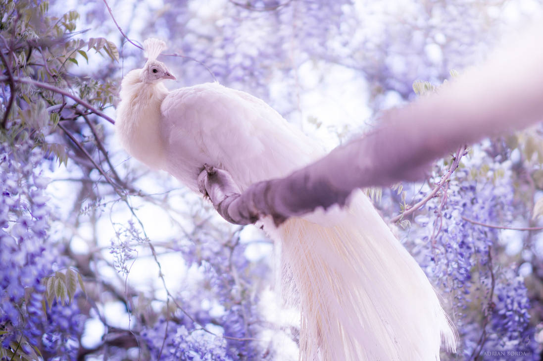 The White Peacock II by borda