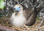 Redfooted Booby by Jarahamee