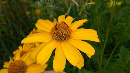 Yellow flower by loozak84