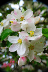 Apple blossoms by loozak84
