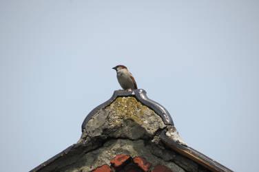 sparrow by loozak84