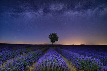 Lavender at Night by redkojimax