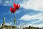 Eleusinian poppy by StamatisGR
