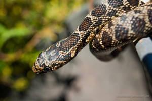 Horseshoe Snake by isischneider
