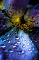 purple blue Morning Dew by isischneider