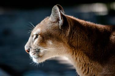 cougar by isischneider