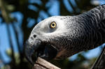 Grey Parrot by isischneider