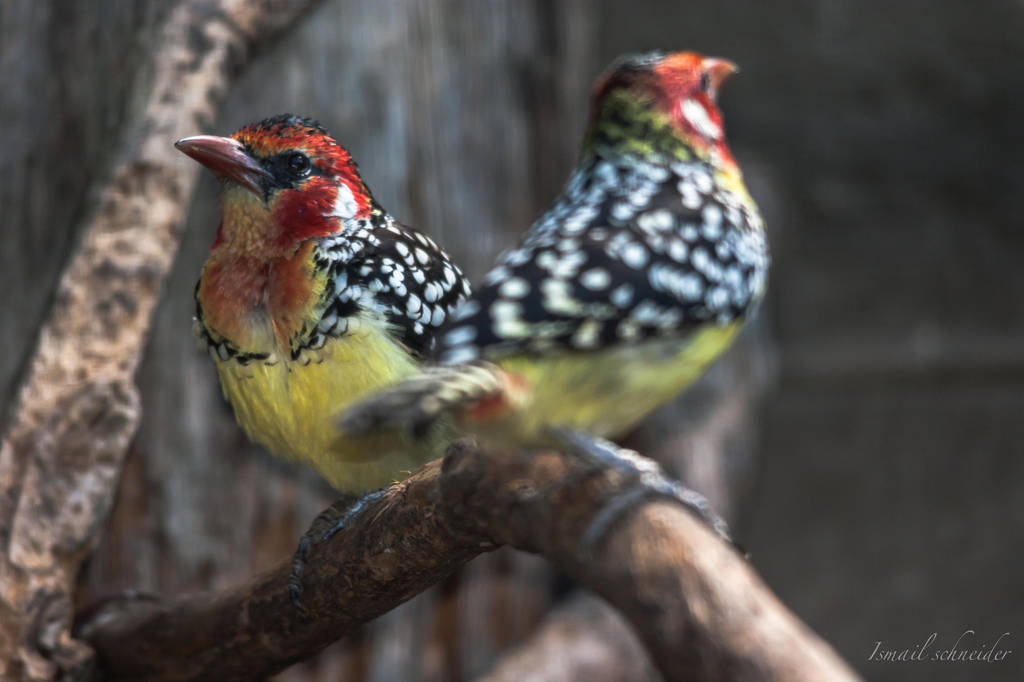 red and yellow barbet by isischneider