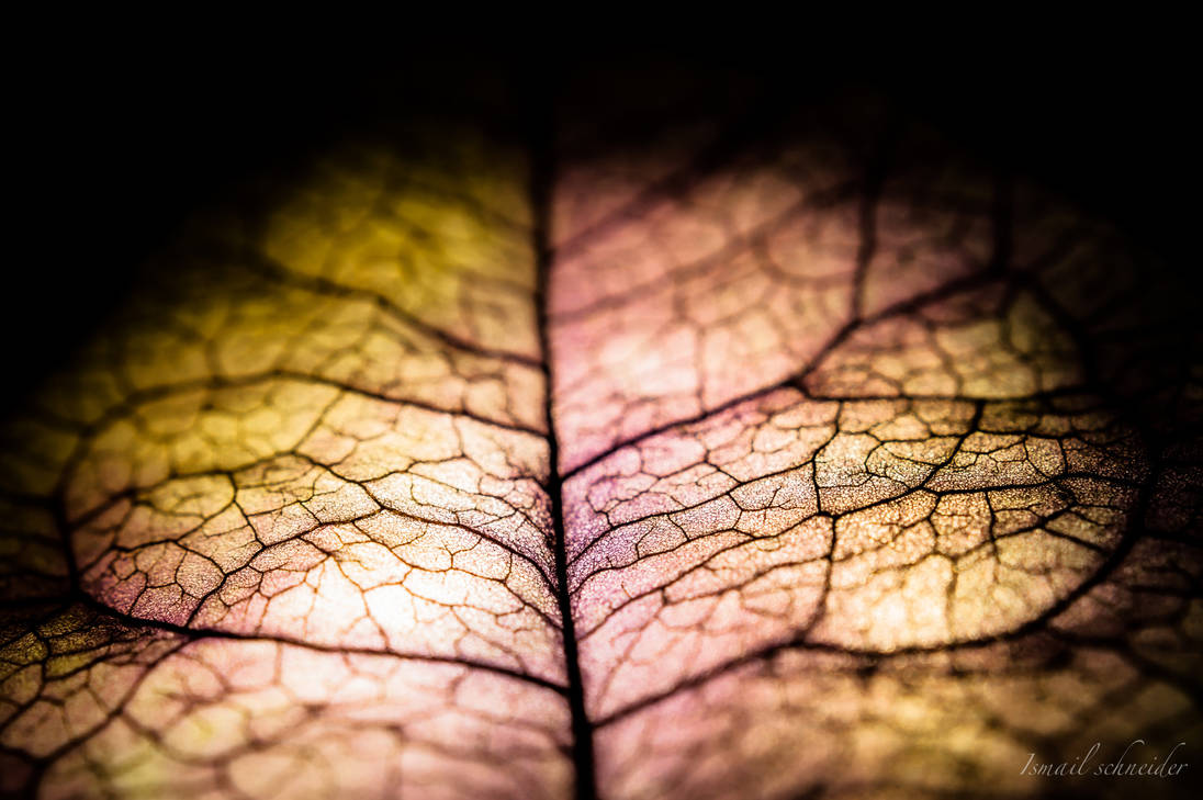 Dry bougainvillea petal by isischneider