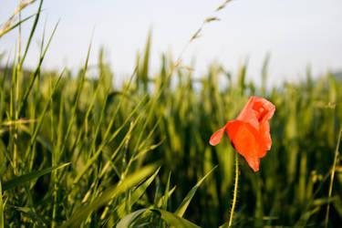 poppy by bitstarr