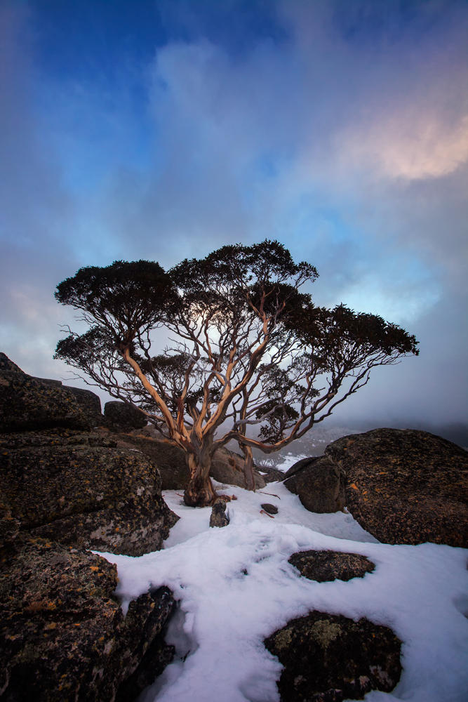 An Aussie Tree by timbodon