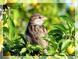 Sparrow by maska13