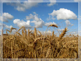 Wheat and sky by maska13