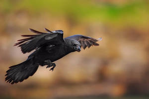 Crow by grem-da