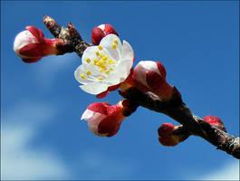 Spring flower by Nyx-art