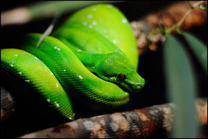 So Green...Snake Green by Tapola