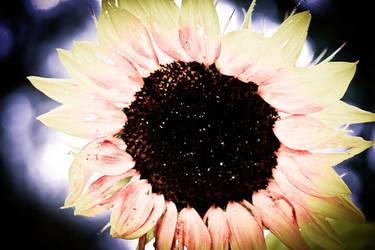 Sunflower by tomadamczyk