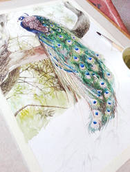 Peacock WIP by jakhont
