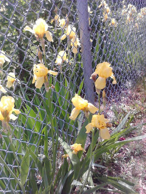 Trapped - Yellow Irises by PikachuLover1988