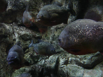 Piranhas by samarinda