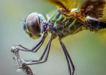 Dragonfly by SnapShotDataBase