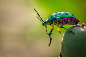 Beetle Macro by SnapShotDataBase