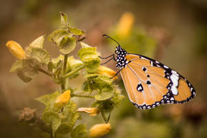 Plain Tiger Butterfly by SnapShotDataBase