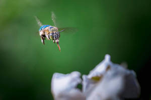 Blue Banded Bee by SnapShotDataBase