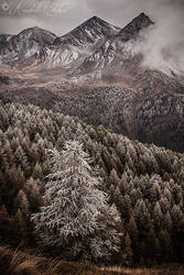 Frosted larch by Annabelle-Chabert