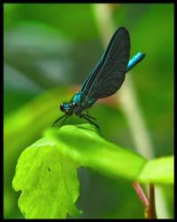 Dragon Fly by dryan02