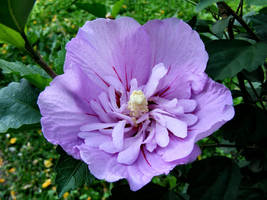 Purple Hibiscus by Dontheunsane
