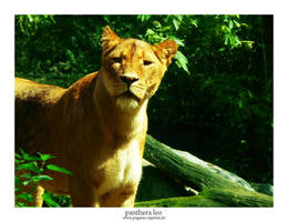 Panthera Leo by Pegasus-Express