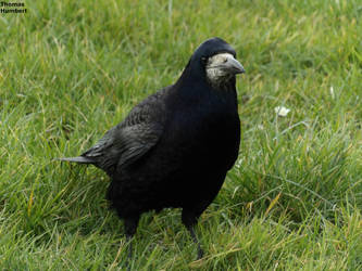 Corbeau freux - Rook - Corvus frugilegus by ThomasHumbertRaven