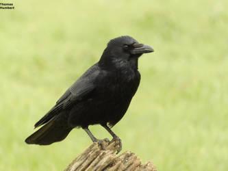 Corneille noire - Carrion crow - Corvus corone by ThomasHumbertRaven