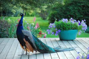 Peacock 3 by elanordh-stock