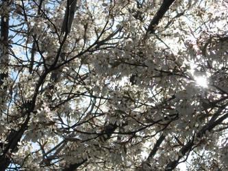 Spring Blossoms by PsychoGemini