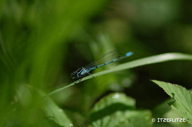 blue dragon fly by Itzeflitze