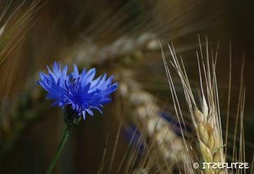 Cornflower by Itzeflitze