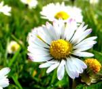 Daisy Days by Ideas-in-the-sky