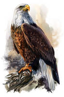 The bald eagle by Kajenna