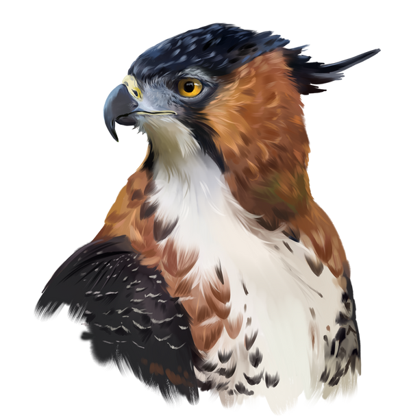 Hawk-eagle by Kajenna