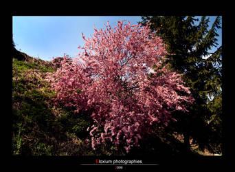 Cherry tree by DyrArt