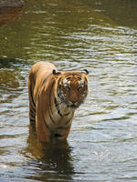 Tiger 03 - In the water by Siveir