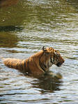 Tiger 04 - Lying in the water by Siveir