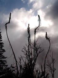 Xerophyllum tenax by hikait