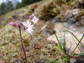 Caryophyllaceae by hikait